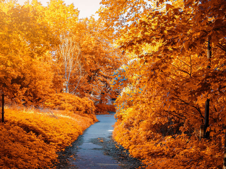 Path inbetween orange autumn trees